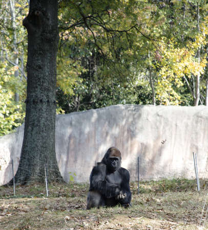 Gorilla at Atlanta Zoo Stock Photo - 16297100