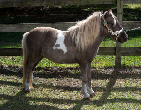 Miniature Horse Stock Photo - 16990692