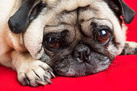 Pug Laying Down Stock Photo - 18089350