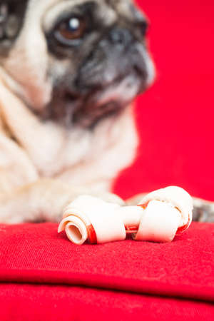 Pug on Red Couch with Treat Stock Photo - 18089285