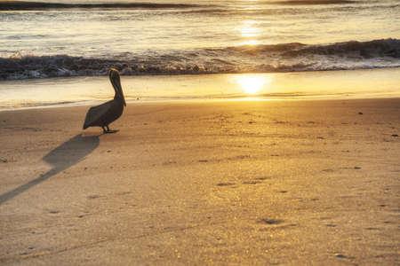Pelican Watching Sunrise Stock Photo - 18656222