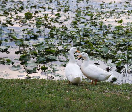 Ducks at Lake Lily Park in Maitland, Florida Stock Photo - 19502583