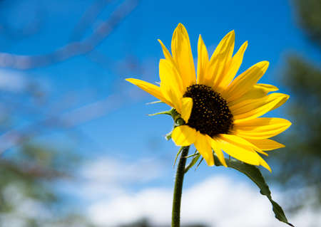Sunflower Stock Photo - 21889497