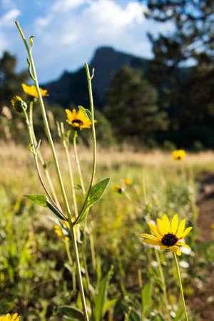 Sunflowers in Colorado Rockies Stock Photo - 21889499