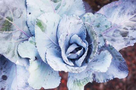 Close up of Purple Cabbage
