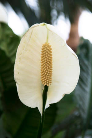 peace lily: Peace Lily