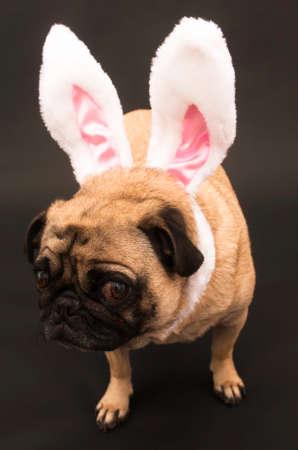 Easter Bunny Pug Stock Photo