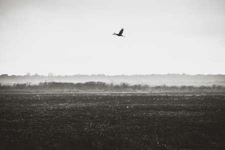 Crane in Flight at Paynes Prairie State Park.