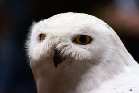 civetta bianca: Gufo bianco