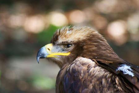 imminent: Eagle  Stock Photo