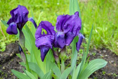 Bouquet of purple irises on the green lawn  Stock Photo