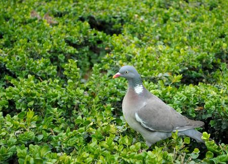 Wild dove in green bushes in front of the Cathedral of Notre Dame  Stock Photo