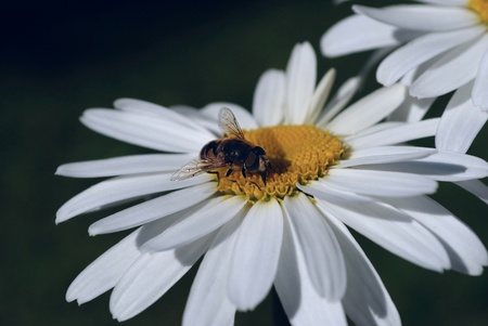A bee on a flower of chamomile. Pollination and collecting honey.