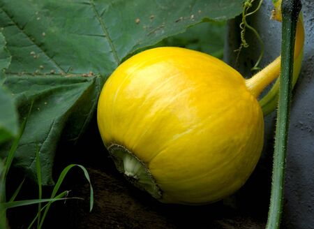 Harvest of bright yellow pumpkin to the garden  Stock Photo