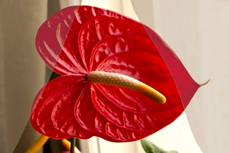 The red flower in the form of sheet behind the curtain