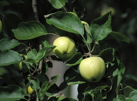 Two apples on a background of green leaves