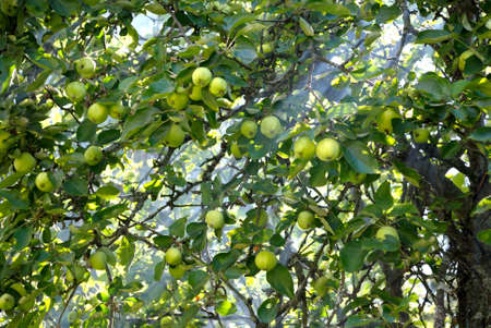 Apples on a tree in a rays of sun shining through the foliage