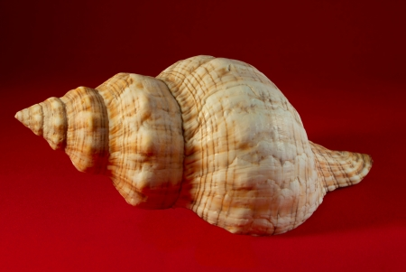 A seashell, isolated on a red background  Stock Photo