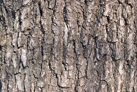 The texture of the bark of a tree for the background and Wallpaper