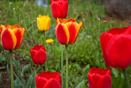 Red-yellow tulips on a warm Sunny day