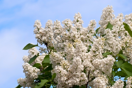 Lilac flowers on a background of blue sky  Stock Photo