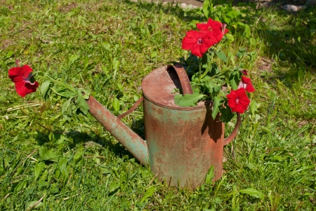 The composition of red flowers in the old rusty watering can