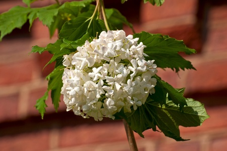 White flowers on the green line in a bright Sunny day  Stock Photo