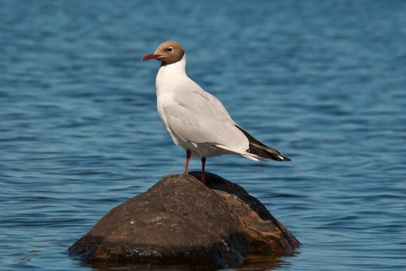 Seagull sitting on a stone in the middle of the lake Stock Photo - 21425020