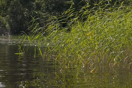 Part of the lake with views of the coast, overgrown by sedge  photo