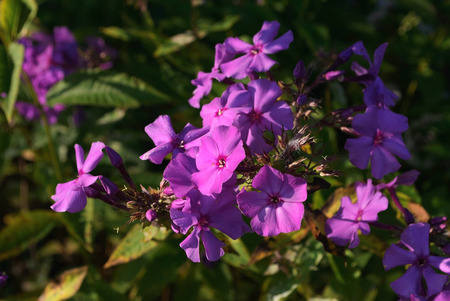Bright purple phlox flower on a background of green leaves.