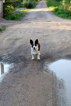 Little puppy with a curious look on the road between the two puddles in the holiday village summer day.
