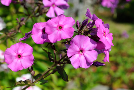 Branch with bright pink flowers phlox on a green background on a bright sunny day.