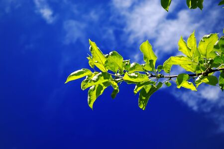 Green leaves on branches against a bright blue sky and clouds on a bright Sunny day.