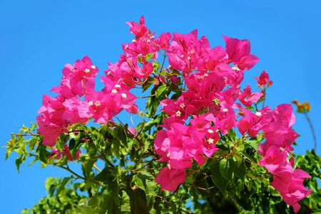 Pink flowers on blue sky background on a bright Sunny day. Stock Photo