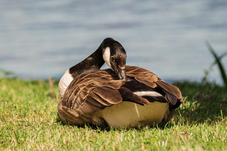Wild goose preening its feathers on the banks of the lake on a bright Sunny day. Stock Photo