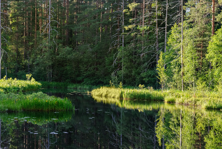 A small forest lake with swampy shores in the summer sunny day. Stock Photo