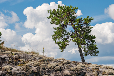 The slope of the pine on the rocky slope of the mountain on a background of blue sky with clouds.