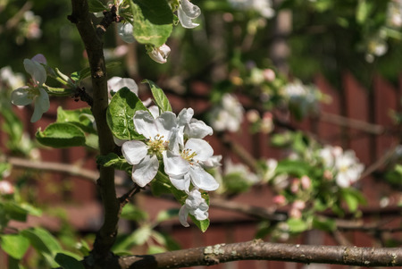 White flowers of apple trees on a background of red walls in bright spring sunny day.