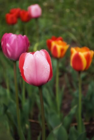 The buds are pink and red tulips on a bright Sunny day.