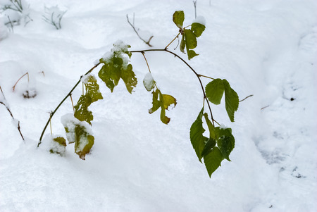 The image of a lonely branch with green leaves sticking out of a snow drifts. Stock Photo