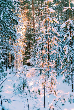 The rays of the sun, making their way through the snow-covered branches of the pine trees in the winter forest in the early frosty morning.