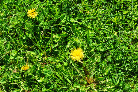 Background of flowers of yellow dandelions lying on green grass on a bright sunny day. Stock Photo