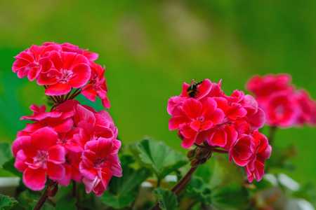 Bright red geranium flowers on a green background and a bee collecting nectar.