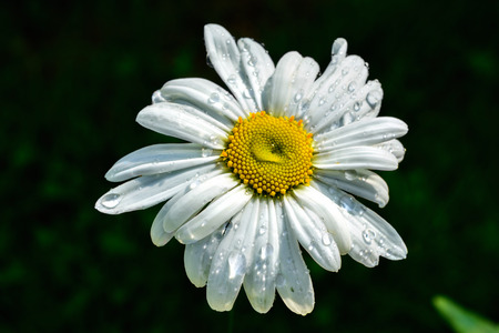 Flower white daisies on a dark green background with transparent rain drops on the petals.