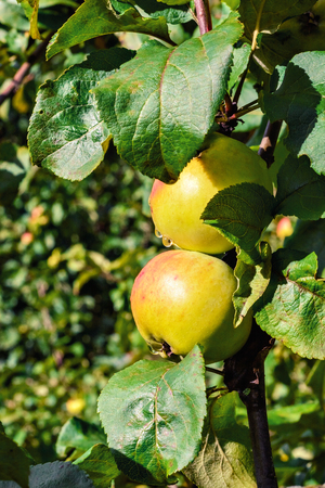 Bright and juicy apples with rain drops on a branch with green leaves.