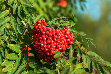 Bunch of red juicy berries of mountain ash on a background of green leaves on a bright Sunny morning.