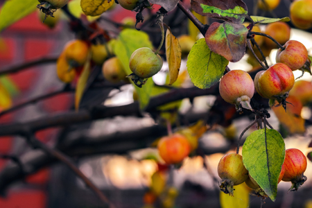 The image of the fruit of the wild Apple tree on a city street. The background is blurred. Stock Photo