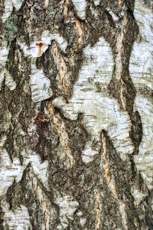Image of birch bark to use as a background.