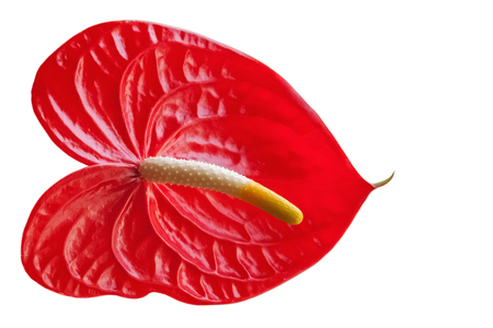 Red Anthurium flower isolated on white background, frontal view. Stock Photo