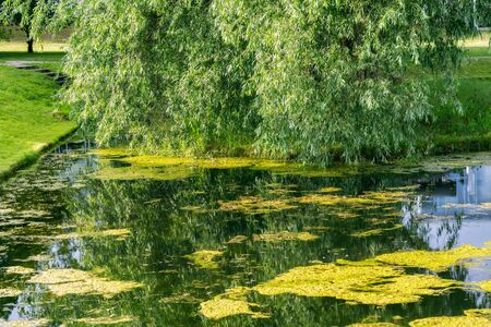 Pond in the city park of Rakvere in Estonia covered with yellow duckweed with willow in the background.